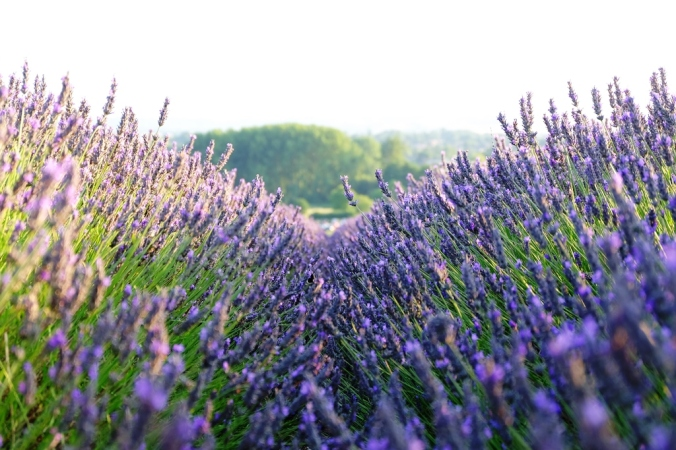 Down among the lavender